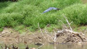 A heron leapfrogged from fallen tree to fallen tree for the four miles up AND then returned the entire four miles back down the Green River.